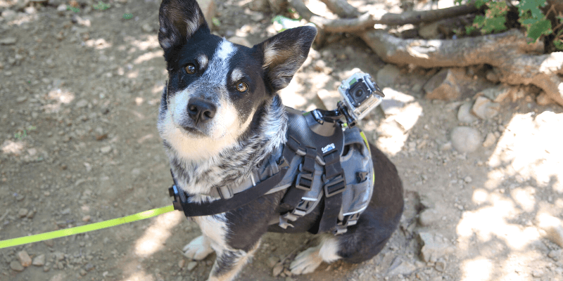 Best GoPro Dog Harness